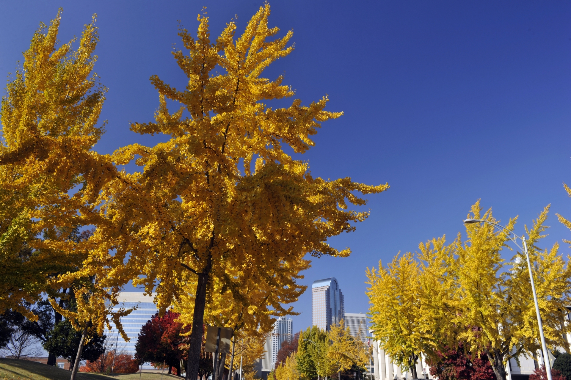 A gingko tree in uptown Charlotte. Photo: Nancy Pierce