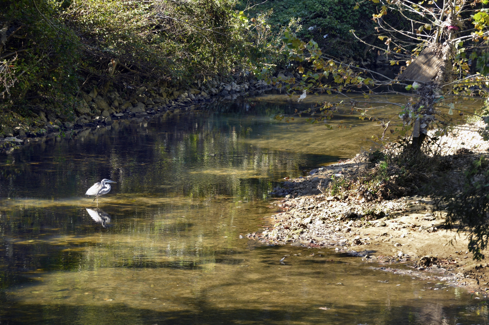 Wildlife still frequent the creek, such as this blue heron, visible from the footbridge in Clanton Park. Photo: Nancy Pierce
