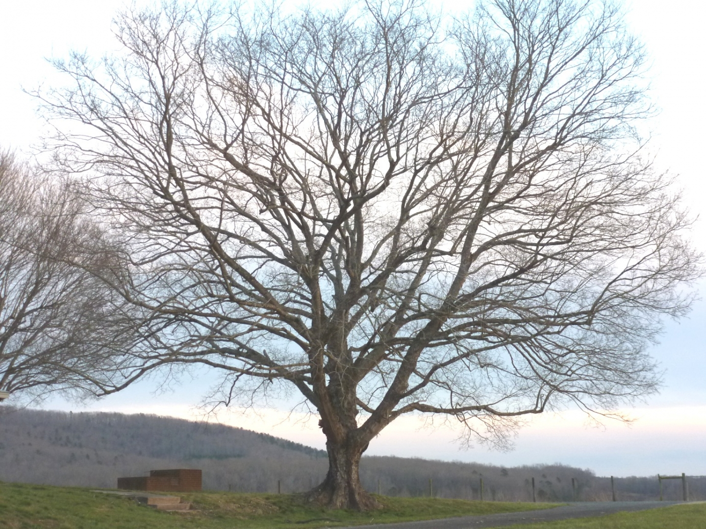 Mature maple with spreading canopy. Photo: Ruth Ann Grissom