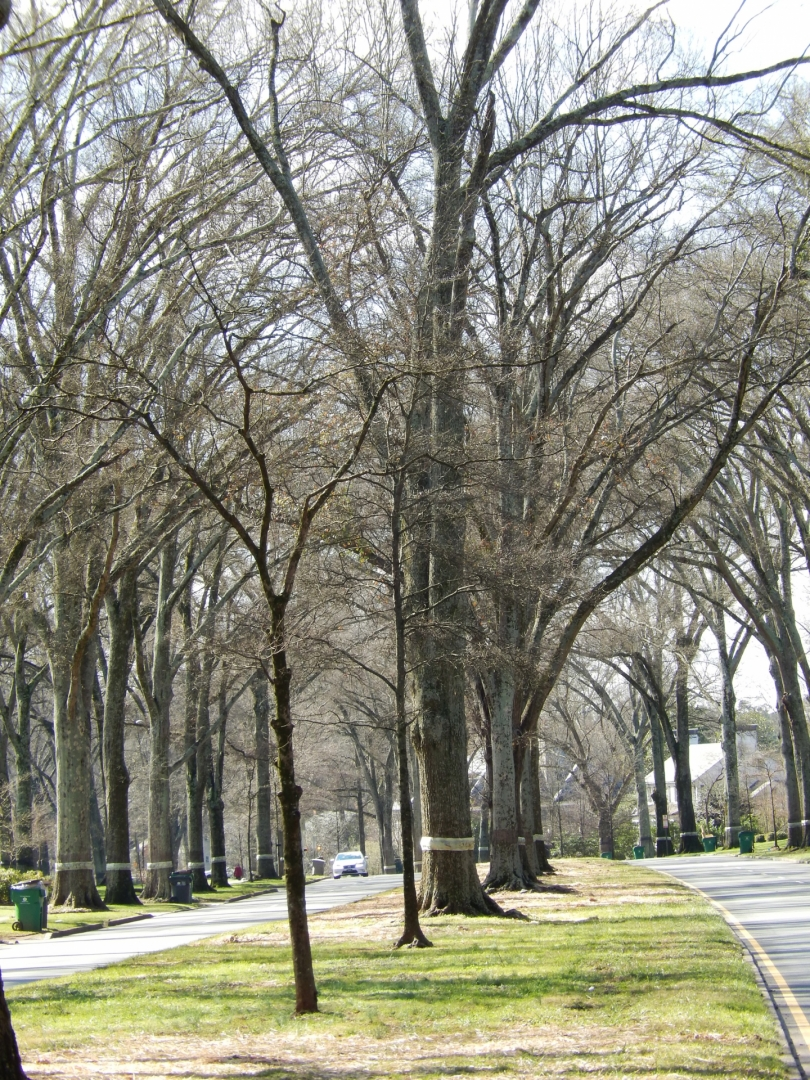 Willow oaks along Queens Road create a cathedral-like effect. Photo: Mae Israel