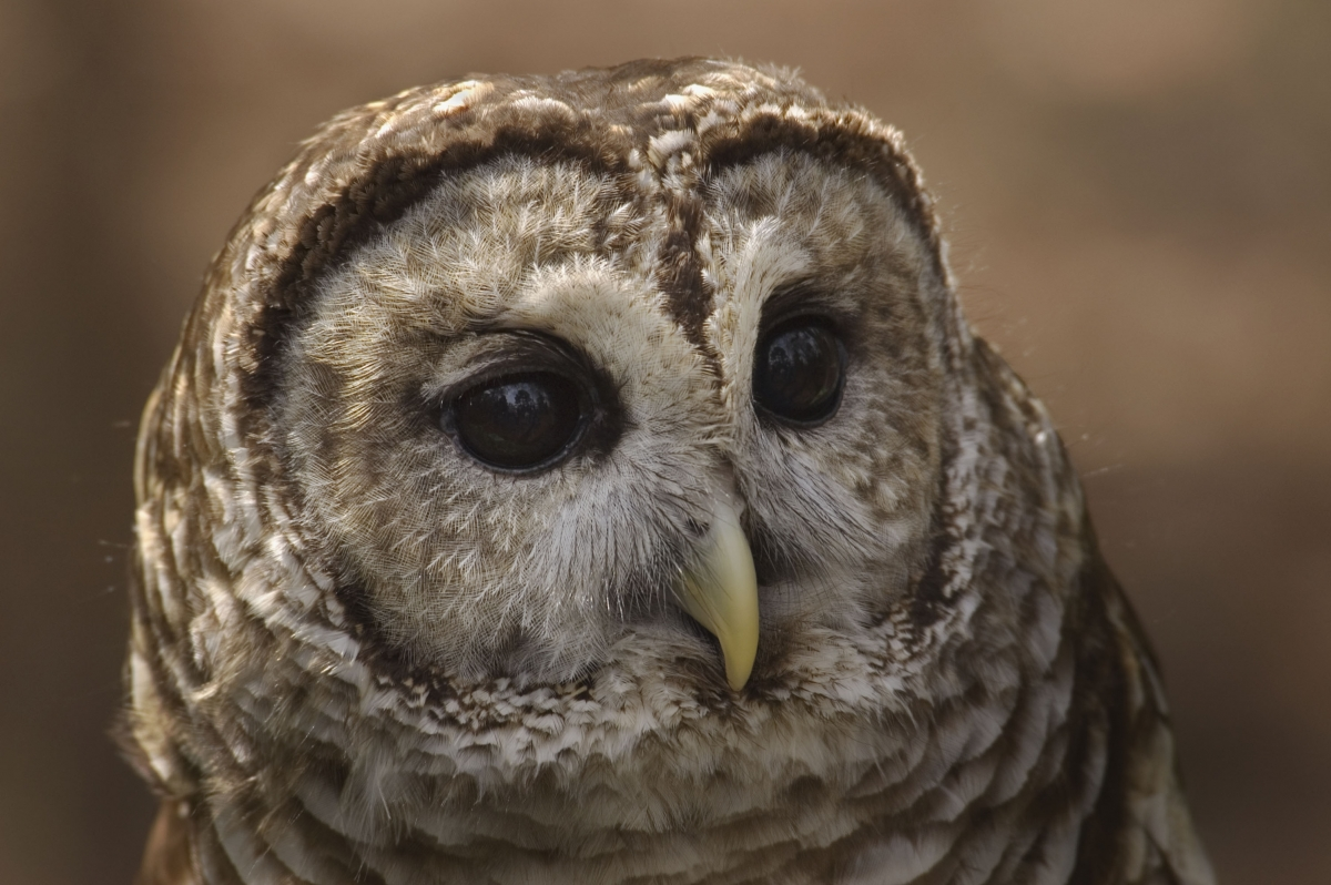 This barred owl, named BobO, was taken to the Carolina Raptor center in 1999 after being hit by a car. She is now blind but is still part of the center's education team. Photo: Karen Kelley, courtesy Carolina Raptor Center